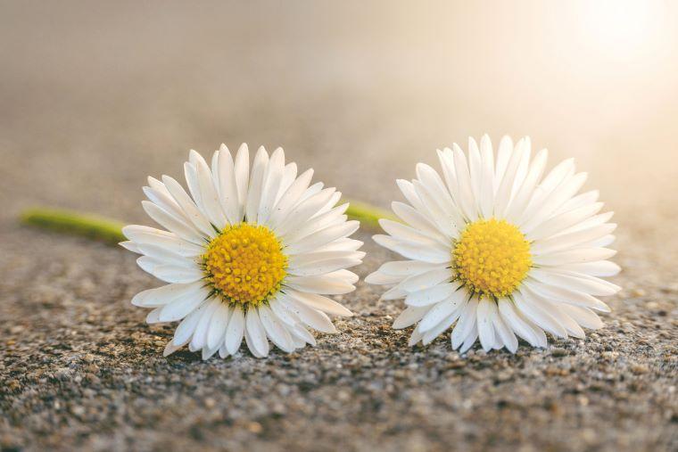 ふたつ並んだキレイなマーガレットの花の画像